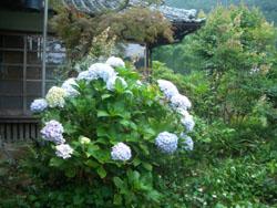 http://niwashigoto-hiroba.com/blog/images/ajisai1.JPG